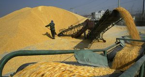 A worker shovels corn at a warehouse in Shenyang in northeast China's Liaoning province. Lawsuits say agribusiness giant Syngenta sold corn seed known as Viptera and Duracade, which contained a genetic trait known as MIR 162, without the approval of the trait by China. China then rejected all imports of corn from the United States. (AP file photo: Chinatopix)