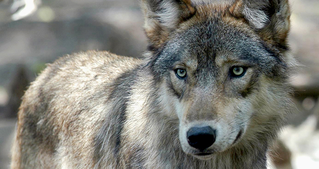 Gray wolves now number over 5,500 in the lower 48 states, including nearly 3,800 in Minnesota, Wisconsin and Michigan. (AP file photo)