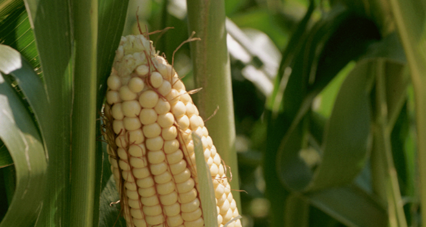 An ear of corn is seen in a cornfield in Plainview, Minnesota. Corn growers in the state say they lost more than $400 million in sales because Syngenta Corp. marketed a genetically modified seed without approval from China, a major agricultural export market. (Bloomberg News file photo)
