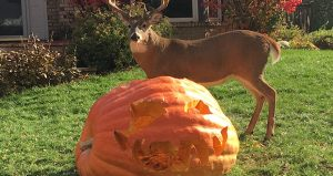 A jack-o'-lantern in the Osterholm family's front yard in St. Louis Park proves hard to resist for a wandering deer. If the deer can only wait, Osterholm chops the pumpkins into wheelbarrow-sized chunks, and wheels them into the nearby woods for final disposal. (Submitted photo)