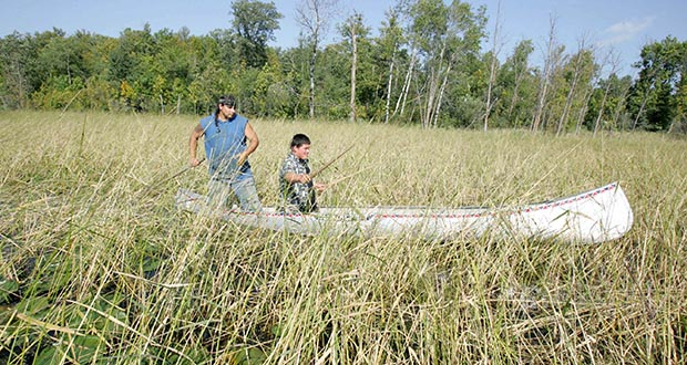 Wild rice bed in White Earth, Minnesota