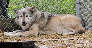 Timber wolf named Comet